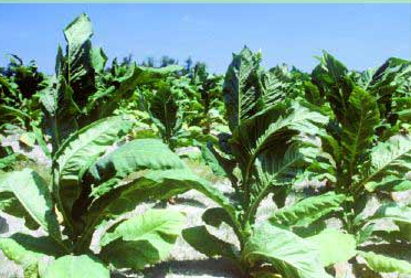 tobacco plants growing