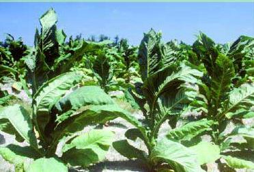 tobacco plants growing