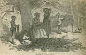 Black children working as slaves to dry the tobacco