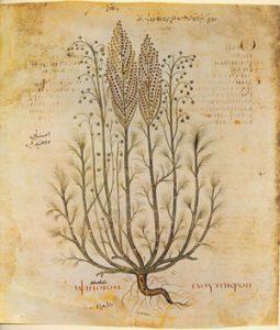 Absinthe, from Dioscurides' bookon Roman medicine (500s AD)