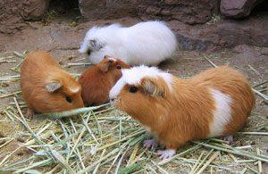 Guinea pigs in Peru