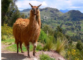 What are llamas? South American animals