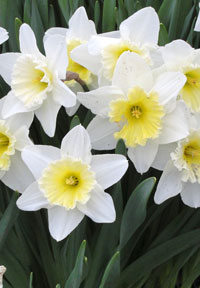 Narcissus flowers (white daffodils)
