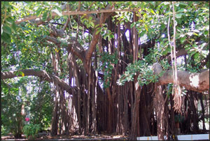 A big rubber tree in Mexico