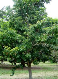 Sapodilla tree - where chewing gum comes from