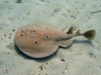 A torpedo ray on the ocean floor