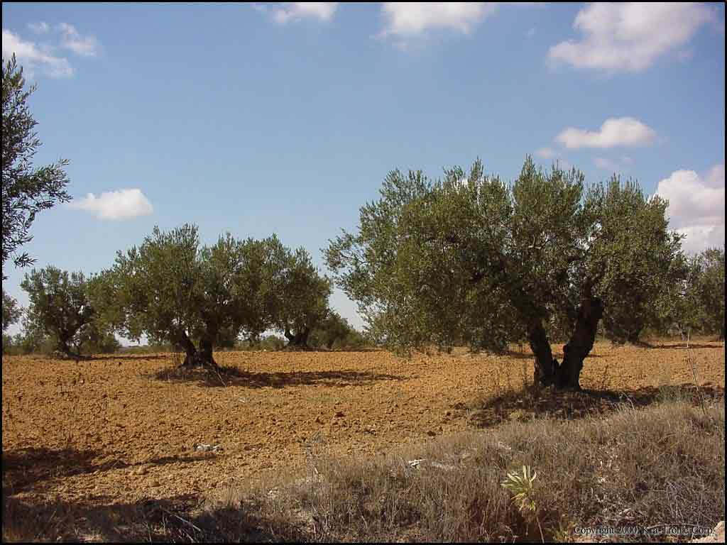 Olive orchard in Tunisia