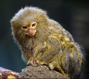 A marmoset - looks like a cross between a mouse and a tiny monkey